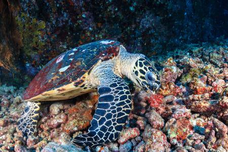 Foto de A friendly Hawksbill Sea Turtle feeding on soft corals on a tropical coral reef at sunrise - Imagen libre de derechos