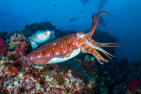 Photo pour Beautiful Cuttlefish on a dark tropical coral reef (Richelieu Rock, Thailand) - image libre de droit