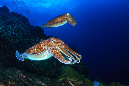 Photo pour A pair of beautiful Cuttlefish on a tropical coral reef at sunset - image libre de droit