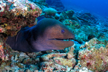 Photo pour A Giant Moray Eel (Gymnothorax javanicus) on a tropical coral reef in Asia - image libre de droit