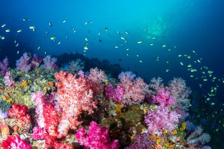 Photo pour Beautiful, colorful soft corals on a tropical reef at Black Rock, Mergui Archipelago, Myanmar - image libre de droit
