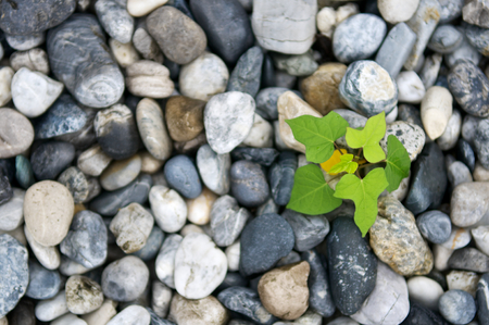 Foto de Plant growth from stone or pebbles  background. Tranquil scene for meditation and healthy life. Close up and macro leaves. Top view. - Imagen libre de derechos