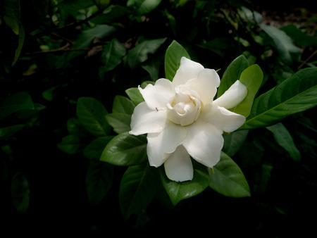 Photo pour The Single White Gardenia Flower Blooming in The Garden - image libre de droit