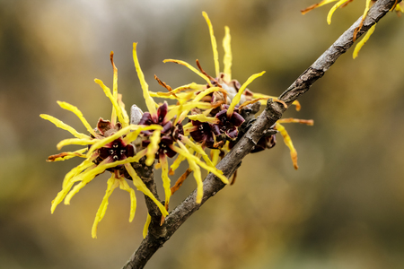Foto de Witch hazel japonica, yellow flowering Japanese witch hazel - Imagen libre de derechos