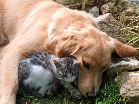Best friends, cat and golden retriever.