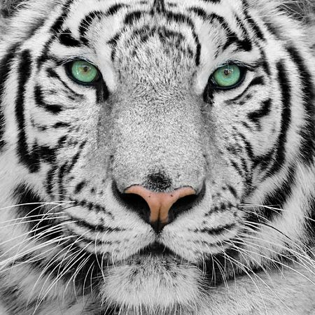 big white tiger close-up portrait