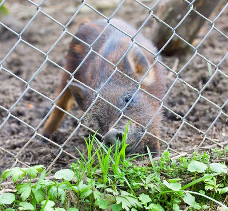 stripy small piglet behind lattice with desire of fresh spring grass