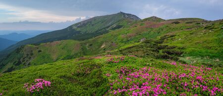 Photo pour Pink rose rhododendron flowers (in front) on summer mountain slope and Pip Ivan Mount peak behind. - image libre de droit