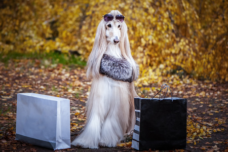 Foto de Stylish, fashionable dog,  Afghan hound in a fur Manto and sunglasses with shopping bags against the background of the autumn forest. Pet shopping concept for dogs - Imagen libre de derechos
