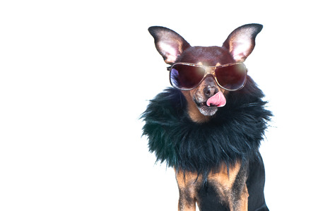 Foto de Stylish, chic dog  isolated , diva in a fur coat and glasses licked in anticipation of purchases and discounts. Fashion and shopping concept - Imagen libre de derechos