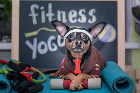 Foto per Pet Fitness , sport  and lifestyle concept.  Funny dog in sportswear in training, portrait  in studio surrounded by sports equipment - Immagine Royalty Free