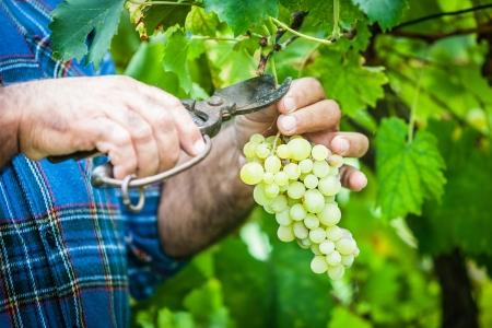 Photo pour Adult Man Harvesting Grapes in the Vineyard - image libre de droit