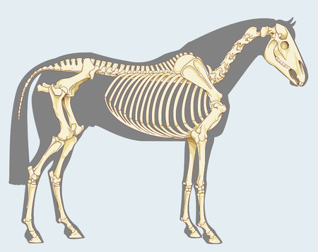 Ilustración de Scientific illustration: horse skeleton - Isolated on sky blue - Imagen libre de derechos