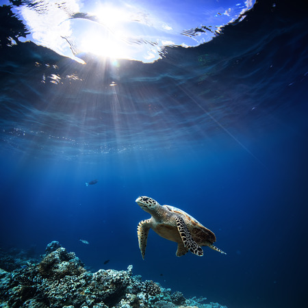 Photo for Underwater wildlife with animals, Divers adventures in Maldives. Sea turtle floating over beautiful natural ocean background. Coral reef lit with sunlight trough water surface. - Royalty Free Image