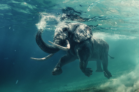 Foto de Swimming Elephant Underwater. African elephant in ocean with mirrors and ripples at water surface. - Imagen libre de derechos