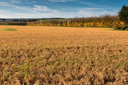 Photo pour Grass reddish brown died because of the herbicide - image libre de droit