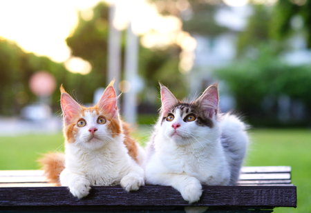 Photo for Portrait of 2 cute cats sitting on a chair in green garden with soft light background. Two beautiful kittens wondering and looking at the top. Black-white and red-white kittens. - Royalty Free Image