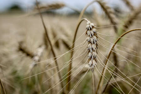 A closeup shot of a triticale plant with a blurred background - great for wallpaper or background