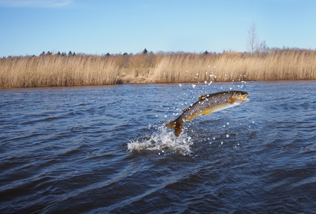 Foto de jumping out from water salmon  on river background - Imagen libre de derechos
