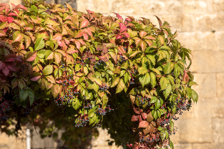 Photo pour A house will be covered with ivy in Domme. Dordogne, France - image libre de droit