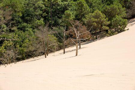 Photo pour Erosion of trees on the edge of the Dune of Pilat, the tallest sand dune in Europe. La Teste-de-Buch, Arcachon Bay, Aquitaine, France - image libre de droit
