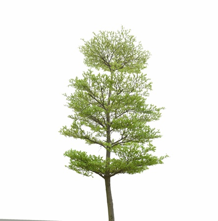 Green tree isolated on white mural