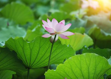 Photo pour blooming lotus flower - image libre de droit