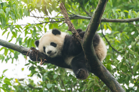 Photo for Giant panda baby over the tree. - Royalty Free Image