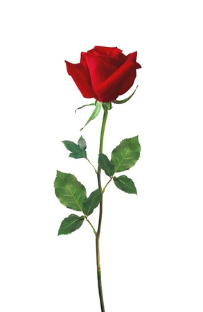 Photo for beautiful red rose isolated on white - Royalty Free Image