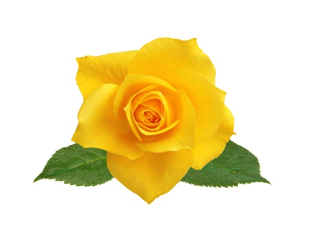 Photo for beautiful yellow rose with leaves isolated on white background - Royalty Free Image