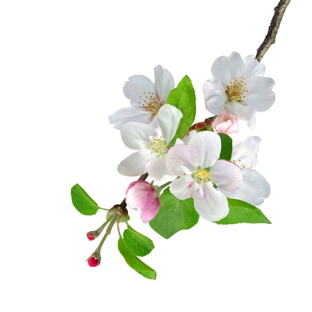 Photo for White apple flowers branch isolated on white background - Royalty Free Image