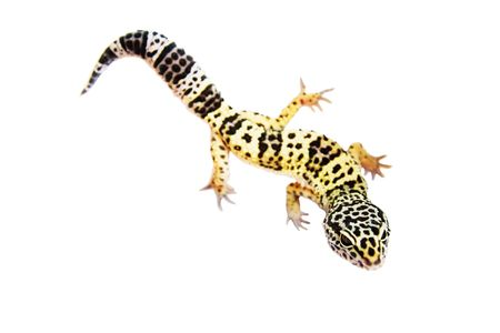 gecko on the wall white background