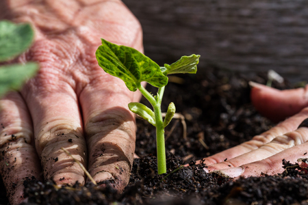 Foto de close up of freshly planted green plant with dirty hands compacting the soil around it - Imagen libre de derechos