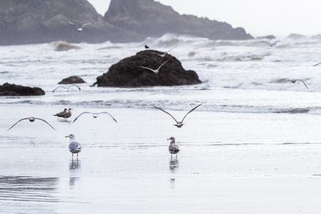 Foto de peaceful scene in southern Oregon with clouds and fog anda group of sea gulls walking on the beach - Imagen libre de derechos
