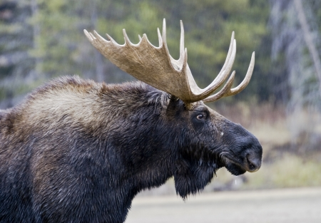 Photo pour Close-up portrait of a bull moose with antlers in Grand Teton National Park, Wyoming - image libre de droit