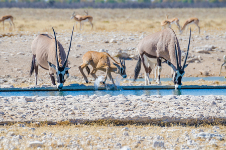 Photo pour Two adult Oryx or gemsbok and a young one splashing with water at water hole, Etosha NP, Namibia, Africa - image libre de droit