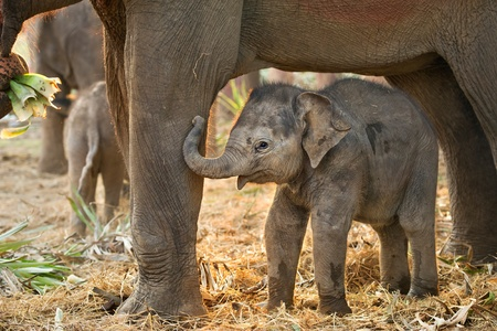 Asian baby elephant standing between the big legs of her mother