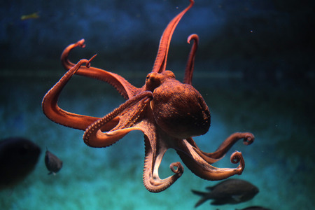 Foto de Common octopus (Octopus vulgaris). Wildlife animal. - Imagen libre de derechos