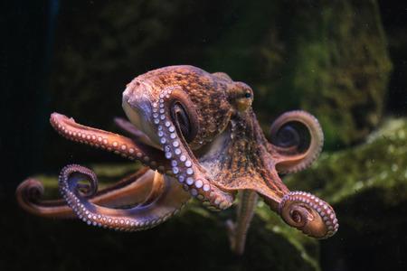 Foto de Common octopus (Octopus vulgaris). Wildlife animal. - Imagen libre de derechos