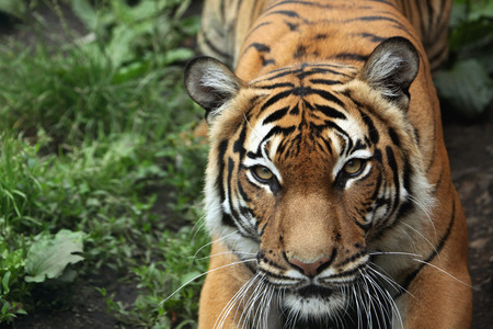Malayan tiger (Panthera tigris jacksoni). Wildlife animal.