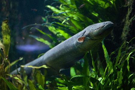 Photo pour Electric eel (Electrophorus electricus). Freshwater fish. - image libre de droit