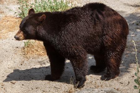 Photo pour American black bear (Ursus americanus). - image libre de droit
