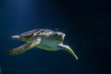 Photo for Loggerhead sea turtle (Caretta caretta), also known as the loggerhead. - Royalty Free Image