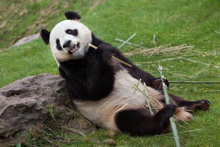 Photo for Giant panda (Ailuropoda melanoleuca). Wildlife animal. - Royalty Free Image
