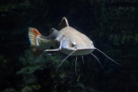 Photo pour Redtail catfish (Phractocephalus hemioliopterus). Freshwater fish. - image libre de droit