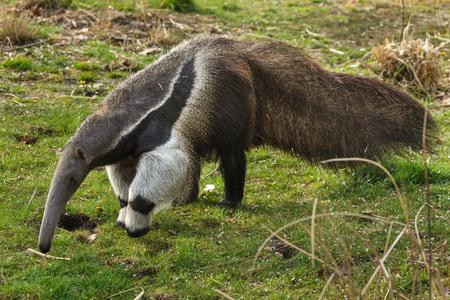 Photo pour Giant anteater (Myrmecophaga tridactyla), also known as the ant bear. - image libre de droit