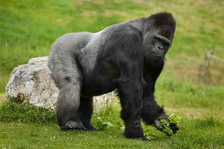Photo pour Western lowland gorilla (Gorilla gorilla gorilla). Wild life animal. - image libre de droit