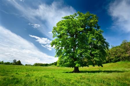 Single big oak tree in a meadow near the forest