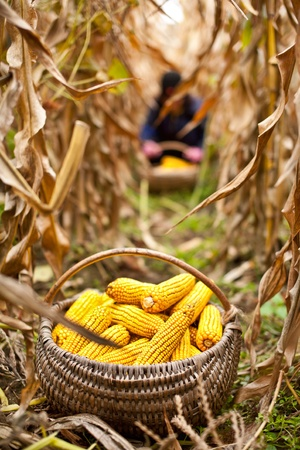 Foto de Basket with corn at the harvest, a person is working in the blurred background - Imagen libre de derechos