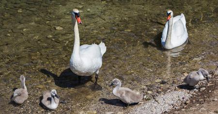 Foto de swans family - Imagen libre de derechos